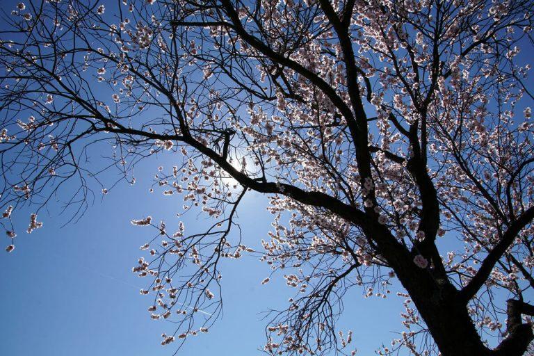 Blühender Mandelbaum im Frühling - Gimmeldingen Neustadt
