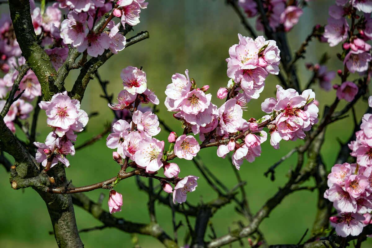 Mandelblüte im Frühling - blühende Zweige - Gimmeldingen Neustadt