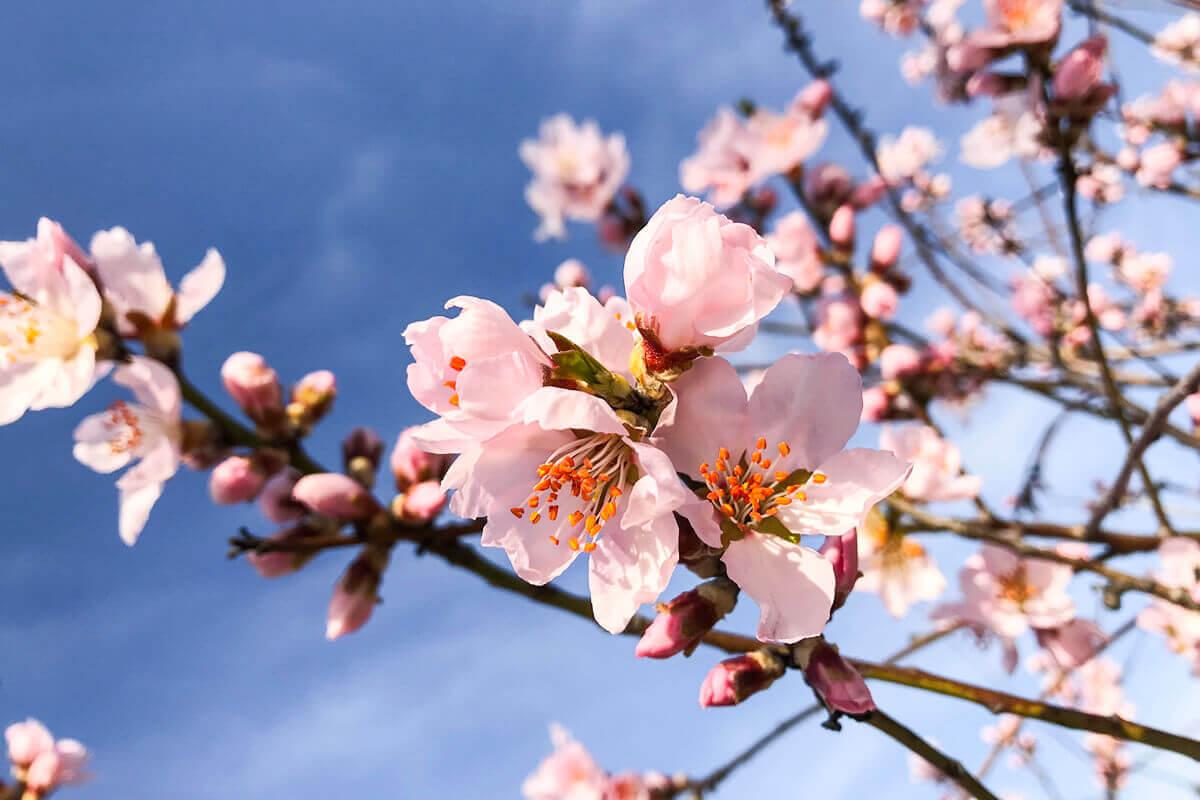 Mandelblüte am Mandelblütenhof